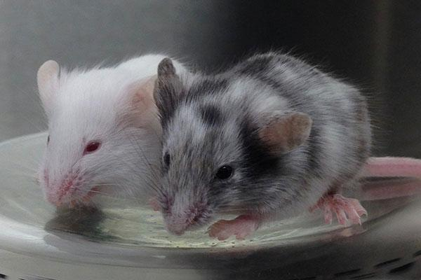 Chimera mouse with an albino mouse